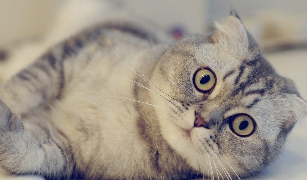 Шотландская вислоухая кошка (фото)